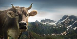 cow-1615890 1920-1